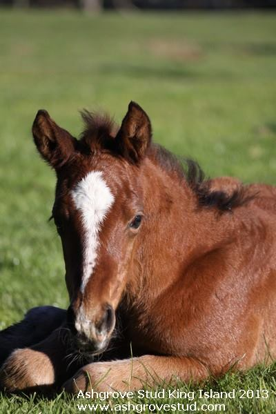2013 Anglo Arabian Colt by Shahrak from East Coast Girl.
